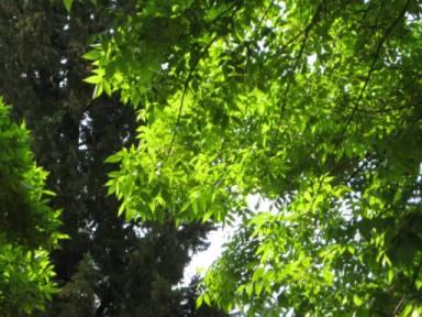 Fronde degli alberi in controluce